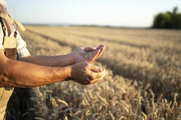 produkce, pěstování obilí